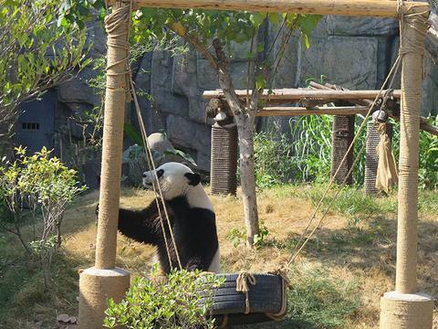 """过瘾!香市动物园大熊猫哥俩上演真实版""""功夫熊猫"""""""