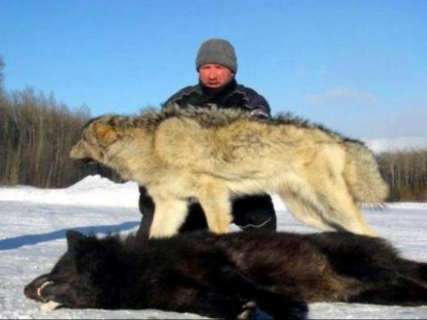 牧民200头羊被咬死,用车轮卡住狼头:让你像狗一样死去