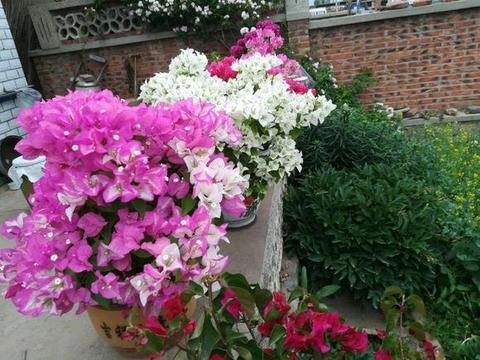 三角梅绿成菜,就是不开花?3招促花大法,秋天霸占整个阳台