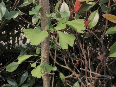 """2种树养一养,1年长成""""盆景树"""",茎干能弯曲,比雀梅盆景都美"""