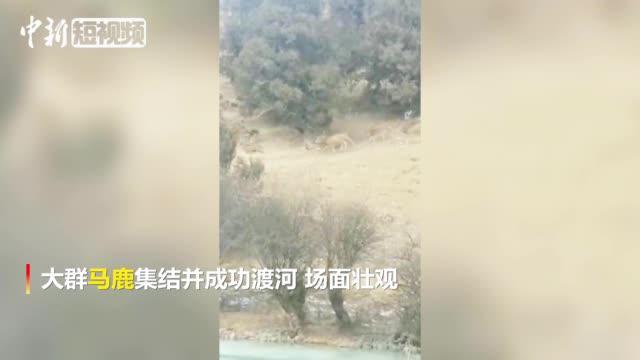 【超震撼!#青海三江源大群马鹿集结# 成