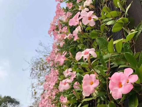 热带可经常开花的爬藤飘香藤,却被养成家里的盆栽