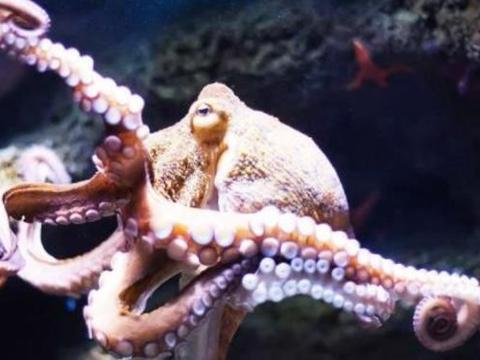 为什么小章鱼一出生,章鱼妈妈就会自杀?专家终于给出了答案!