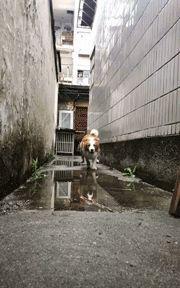 当狗砸遇到一个大水坑,边牧简直帅到爆,可轮到阿拉斯加时...