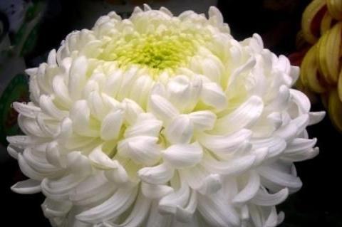 """喜欢菊花,不如养盆""""优良名菊""""白创云,盈盈玉体, 淡淡清幽"""