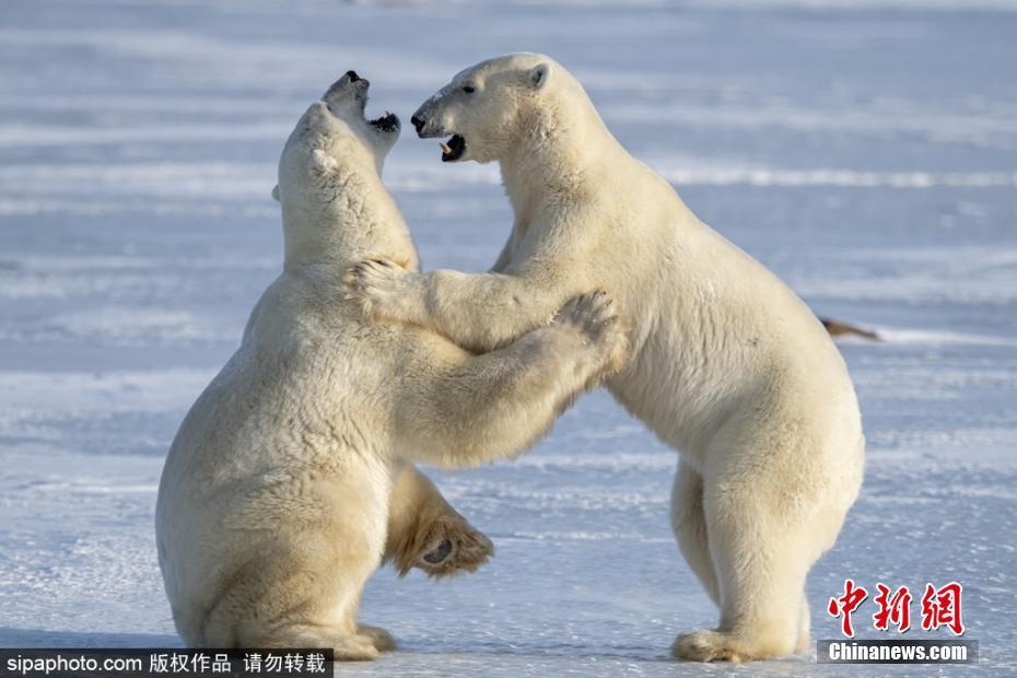 嘴掌并用!两只北极熊互相推搡打闹画面十分逗趣嘴掌并用!两只北极熊互相推搡打闹画面十分逗趣