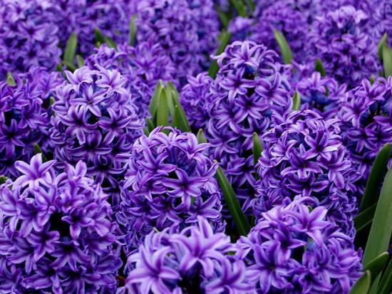 风信子成簇开花适合冬天养,养在室内注意一点,开花旺颜值高
