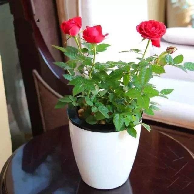 玫瑰花养成盆栽有技巧,这样养活得久,实力推荐