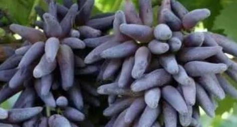 长相奇特的水果,属于美国专利不让国内种植, 70元一斤获利很大