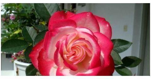 """""""高端玫瑰""""摩纳哥公爵,花型秀美,缭绕飘舞,实属养花首选"""