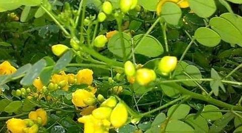 此野菜有清热解毒,利尿,通便之效。用于肾炎水肿等症