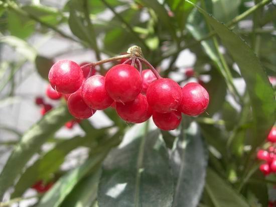 过年养一盆红凉伞,果子颜色鲜艳,冬天满是红果子