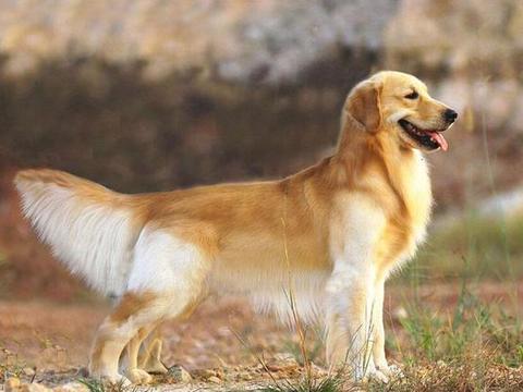 狗狗毛发不好,暗淡粗糙?建议常吃这几种食物有好处