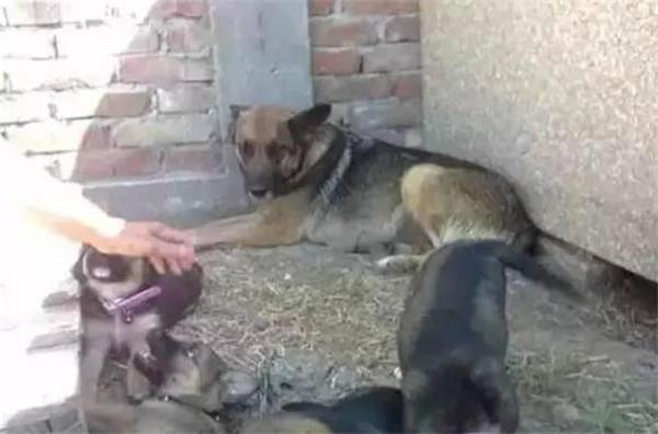 忠犬为陪伴过世主人,在主人墓碑下挖洞生活!
