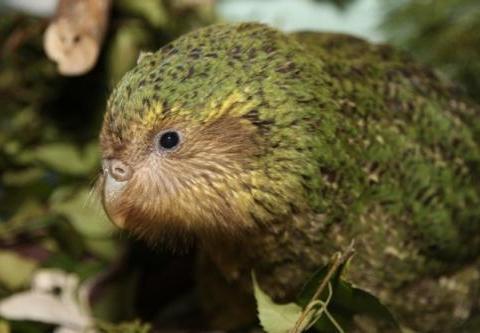 地球上唯一不会飞的鹦鹉,有一张酷似猫头鹰的脸,濒临灭绝