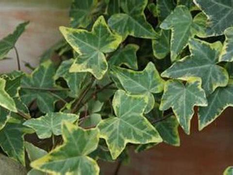 秋天养护常青藤,做好这几点,蹭蹭长不停还能净化空气