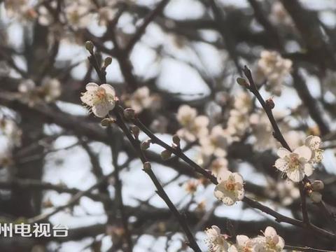 潮州饶平大门坑2000亩梅花竞相绽放,形成一幅白似瑞雪的美丽画卷