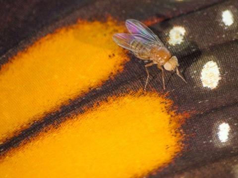 CRISPR基因编辑后的果蝇被证实具有一定的抗毒性