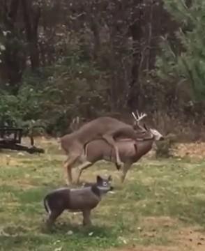 又有动物被人类欺骗:公鹿喜欢上母鹿,但对方突然断头