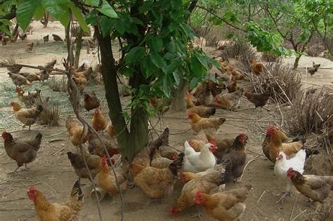 如果想养鸡,却没开始养鸡,我告诉养鸡对工作人员的危害。