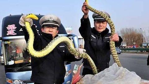 为什么在农村的菜花蛇不但不怕眼镜蛇