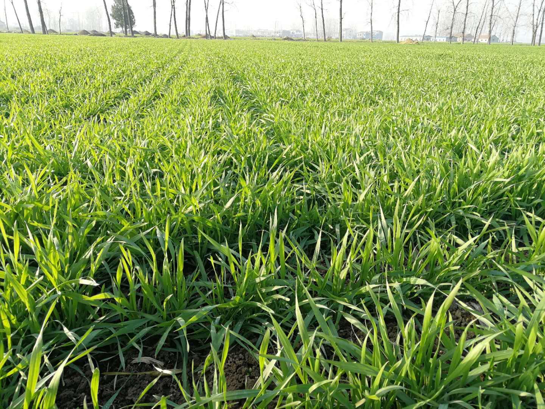 小麦什么时候打除草剂最好?冬前除草效果好,降温容易出药害