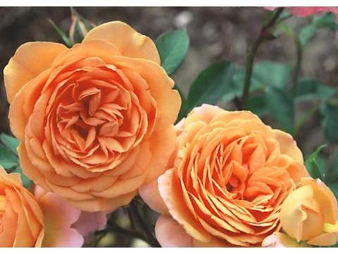 养护花卉的好处多,陶冶情操,美好环境,促进身体健康