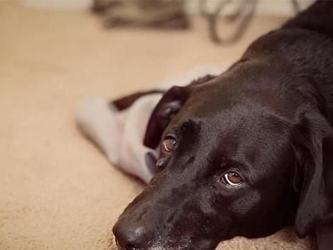 什么是犬疱疹病毒?幼犬的感染致死率更高,主人要留心警惕