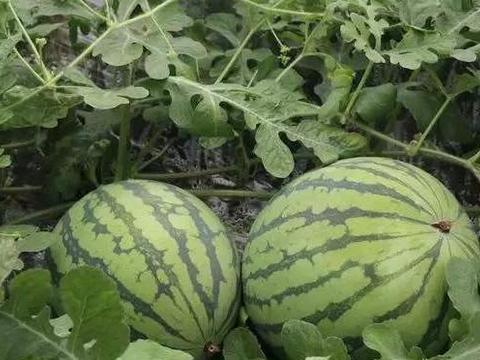 西瓜种植,塑料大棚栽培怎么做好病虫害防治?来学学