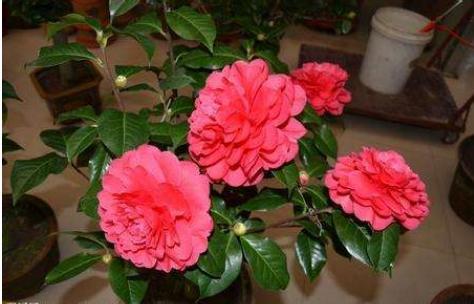 """12月养茶花,这4点""""要素""""要牢记,否则不是掉花,就是黄叶"""