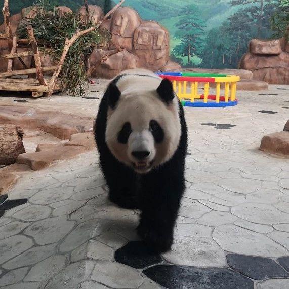 南宁两只大熊猫今天正式亮相!现场多图+视频直播!