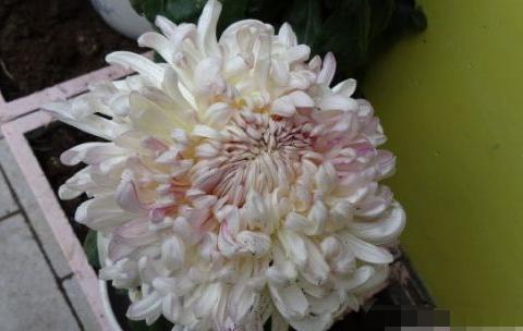 开花最勤的冥王星,四季花开,多花易爆盆,花色漂亮,超级好养