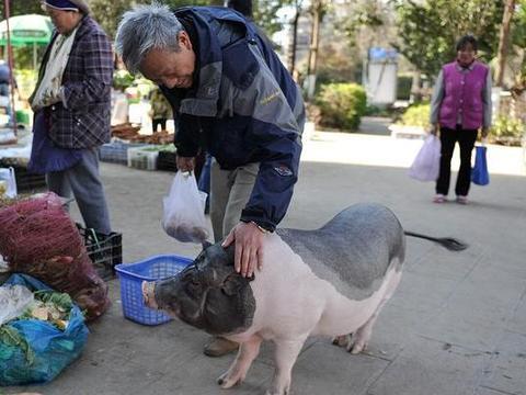 昆明市民养香猪当宠物,一年后竟长大变肥猪引好奇市民围观