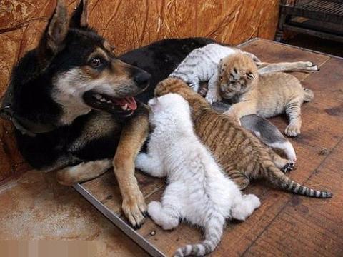 三只小奶虎没奶喝,还好有这只狗狗照顾喂奶,真是太有爱了