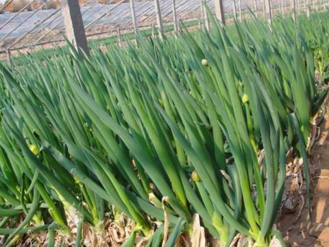 大葱种植有技巧,水肥管理很重要,病虫害防治要上心