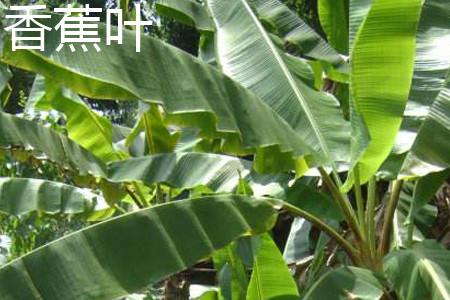 芭蕉叶与香蕉叶有什么区别?
