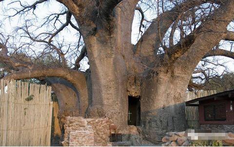 非洲干旱地区的救命树,一棵树可以养活一群人,还可以居住!