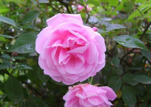 喜欢月季,不如养盆精品月季安妮公主,花色艳丽缤纷如公主般迷人