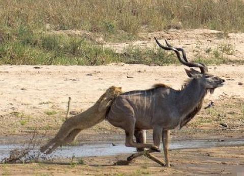 母狮猎捕非洲大羚,被逼水洼的大羚反击,让母狮吓得扭头就跑