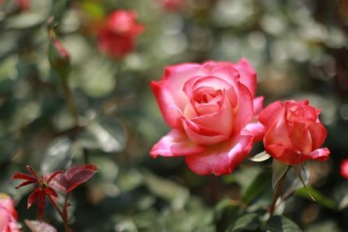 喜欢菊花,不如养盆精品玫瑰诺埃尔玫瑰,花开绚丽多姿如艳丽女郎