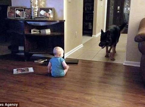 外国奶奶看孩子,任由不满一岁婴儿与大狗追逐嬉闹!网友直呼危险