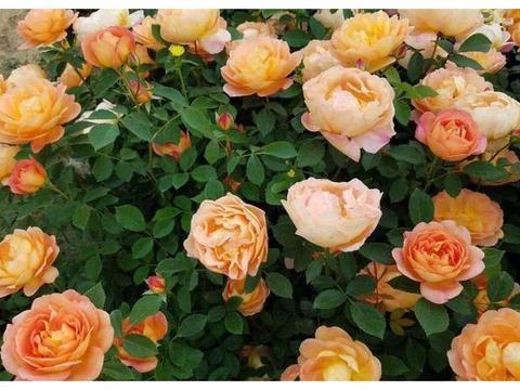 此花颜色蜂蜜焦糖色,花大色艳,花期长,快来了解是啥花