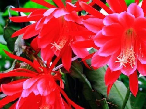"""新手养花,不如养盆花中精品""""彩龙爪"""",似彩龙出海,炫彩美丽"""