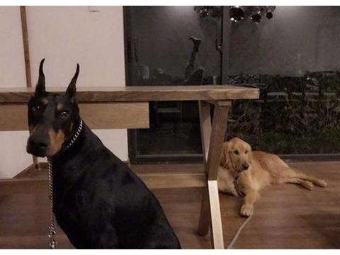 走进乐嘉生活中的家,家里养了很多猎犬,平时性格都这么彪悍?