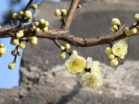 最美唐诗:腊月开花似北人,这花是什么花,这人是什么人?