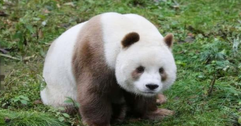 """全世界""""唯一的""""棕色熊猫,是国宝中的国宝,呆萌的样子惹人疼!"""