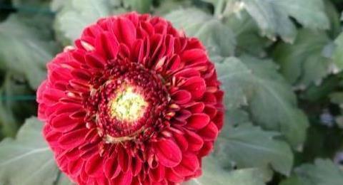 """喜欢菊花,就养盆""""乒乓菊系列""""红色乒乓菊,似红灯笼,娇巧迷人"""