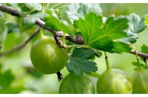 """它极为珍贵,人称""""鹅莓"""",能软化血管降血压,却少有人懂,可惜"""