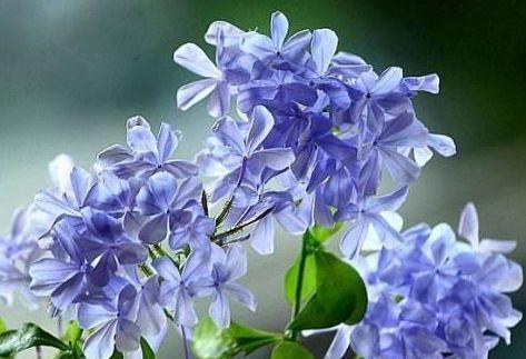 """优良月季""""蜂蜜焦糖"""",清香袭人,美丽怡人,可以说是养花必备"""