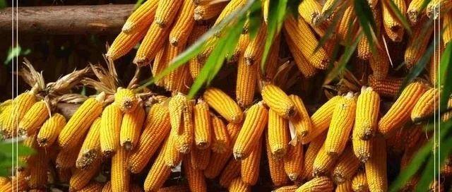 官方数据显示仍有2亿吨玉米未卖 但节后二三月上涨概率依旧大